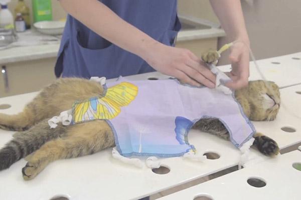 Процесс одевание попоны на кошку