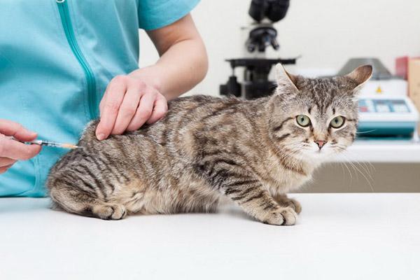 Прививание кошки перед стерилизацией