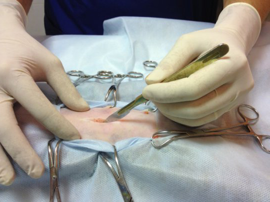 Стерилизация кошки хирургическим методом
