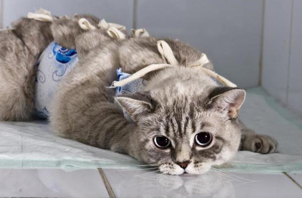 Уход за кошкой после операции лапараскопическим методом