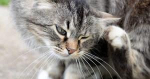 Нотоэдроз у кошек