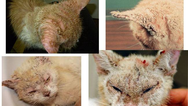 нотоэдроз у кошек симптомы