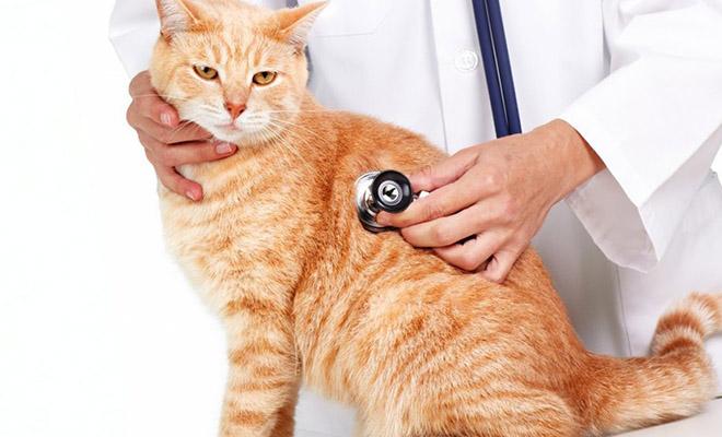 Сколько кошку не кормить перед стерилизацией