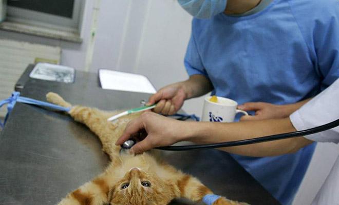 Как проходит стерилизация кошек