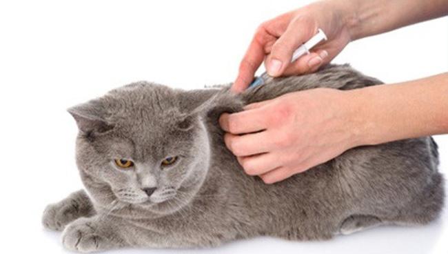 сульфокамфокаин для кошек как колоть