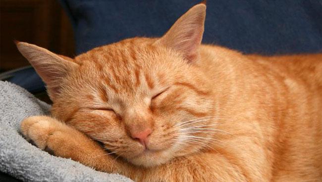 Почему кошки мурлыкают: как, зачем, почему