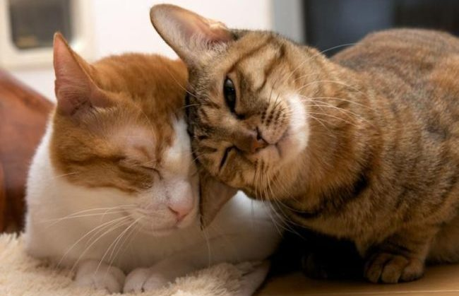 Половое созревание котов