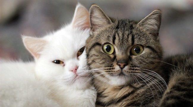 В каком возрасте происходит половое созревание котов