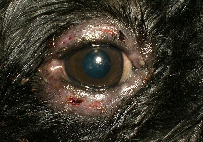 Болезнь глаз у собак: блефарит