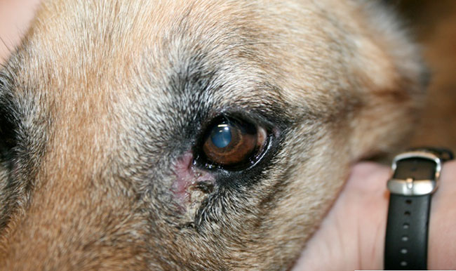 Блефарит у собак, как лечить?