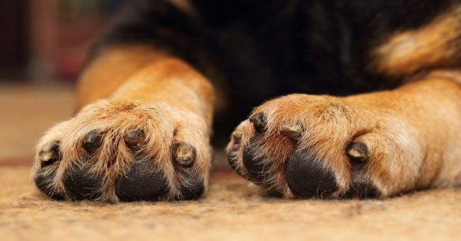 Собака кусает свою лапу почему?