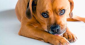Собака грызет свою лапу, причины?