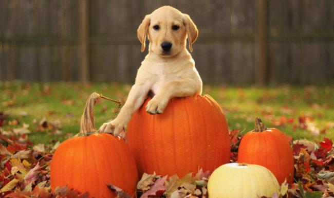 Чем полезна тыква для собак