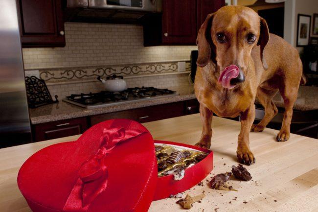 Шоколад сьела собака что делать?