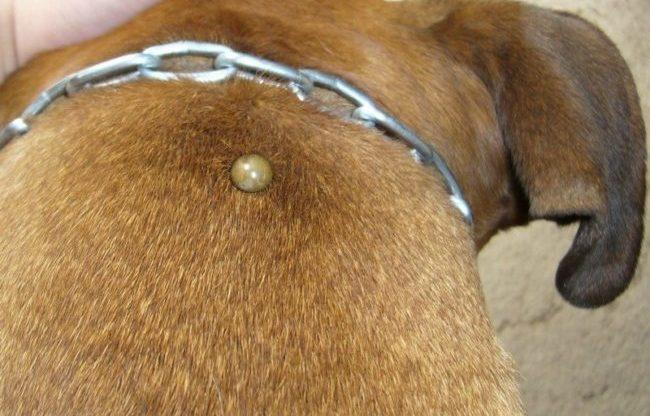 Пироплазмоз у собак как выявить