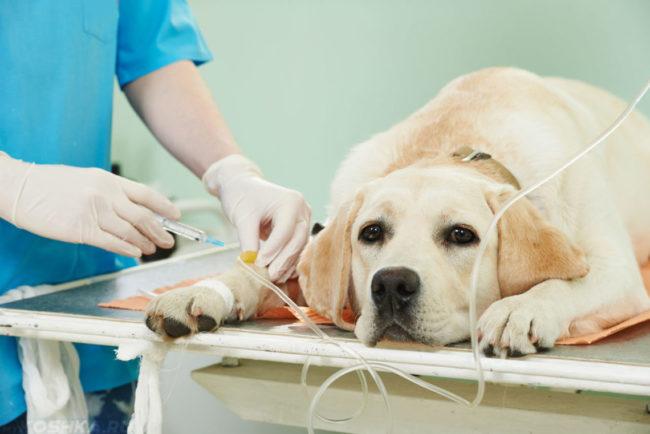 Пироплазмоз у собаки лечение