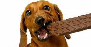 Вред шоколада для собаки